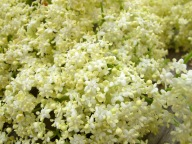 IMG_1549_elderflower_closeup