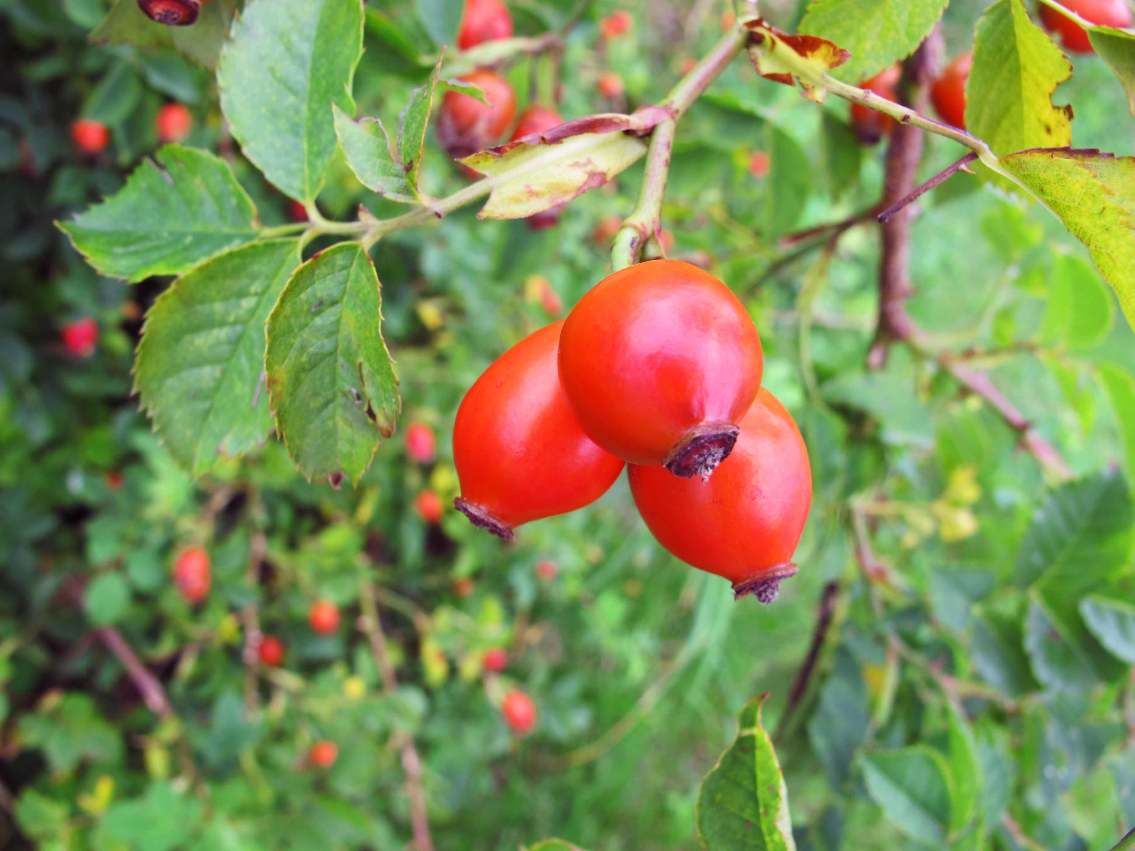 Do you have any go to home remedies or natural cures that you swear by askreddit - What to do with rosehips jelly and vinegar ...