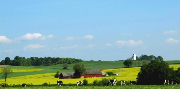 IMG_1088_cows_crop