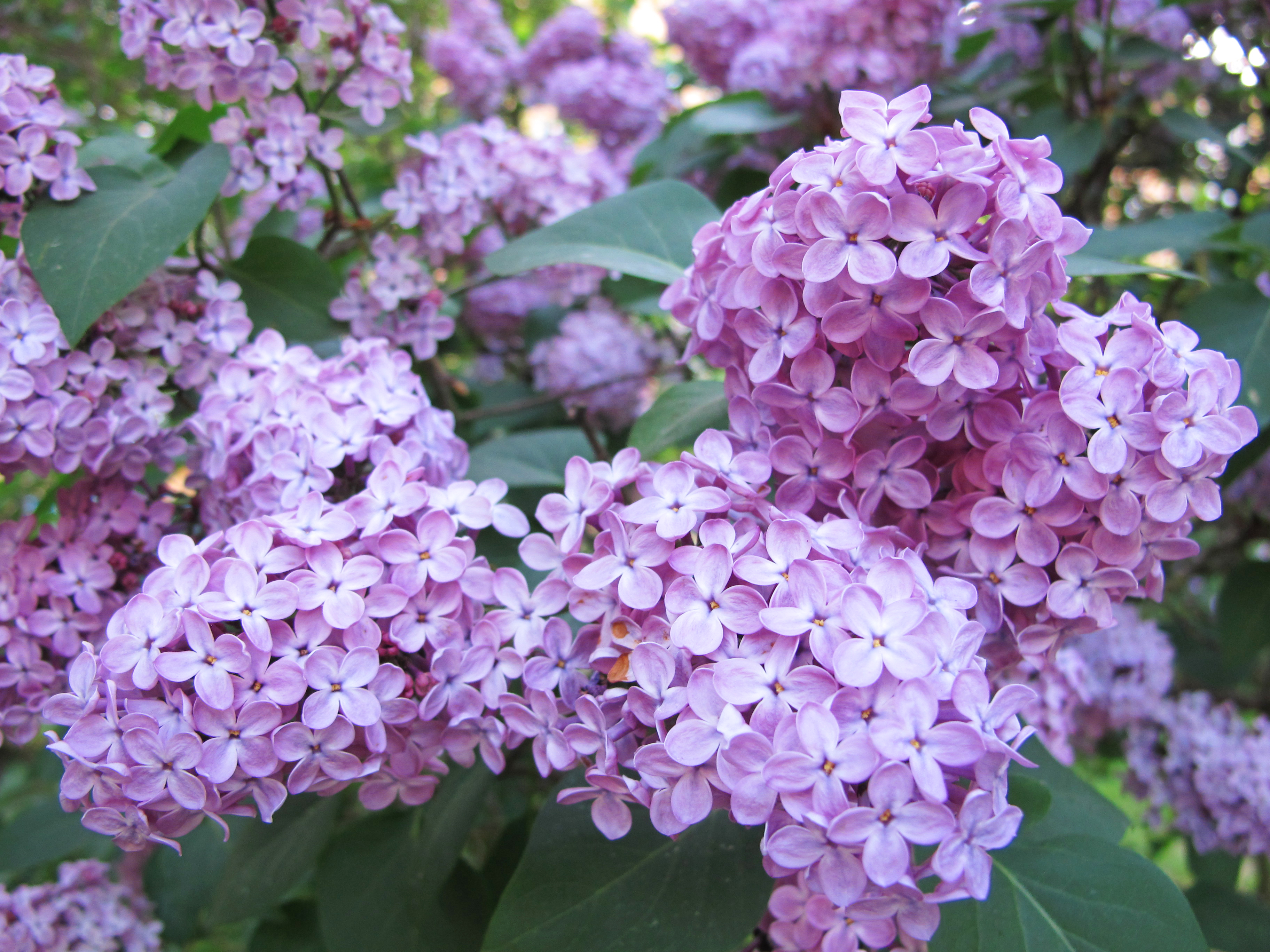 Syrenersaft – Lilac cordial | semiswede